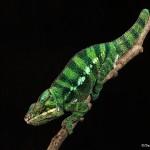 2694 Panther Chameleon (Furcifer pardalis).