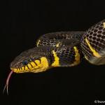 2695 Gold-ringed Mangrove snake (Boiga dendrophila).