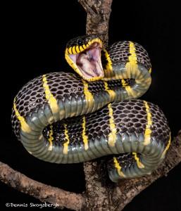 Gold-ringed Mangrove snake (Boiga dendrophila).