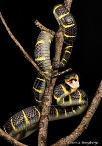 2697 Gold-ringed Mangrove snake (Boiga dendrophila).