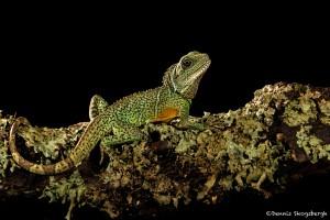 2698 Chinese Water Dragon (Physignathus cocincinus).