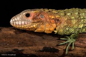 2699 Caimen Lizard (Dracaena guianensis).