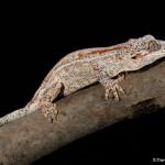 2700 Gargoyle Gecko or New Caledonian Bumpy Gecko (Rhacodactylus auriculatusis).