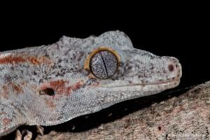 2701 Gargoyle Gecko or New Caledonian Bumpy Gecko (Rhacodactylus auriculatusis).