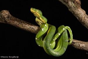 2704 Emerald Tree Boa (Corallus caninus).