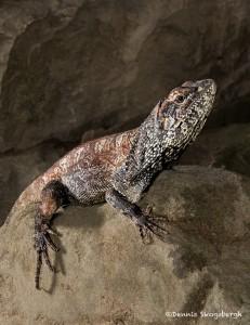 2716 Frill-necked Lizard (Chlamydosaurus kingii).