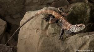 2717 Frill-necked Lizard (Chlamydosaurus kingii).