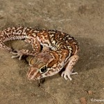 2719 Big Head Gecko (Paroedura pictus).