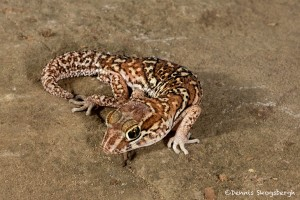 2719 Big Head Gecko (Paroedura pictus).