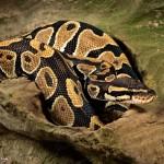 2720 Ball Python (Python regius).