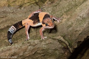 2721 African Fat-tailed Gecko (Hemitheconyx caudicunctus).