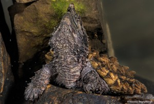2722 Alligator Snapping Turtle (Macrochelys temminckii).