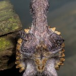 2723 Alligator Snapping Turtle (Macrochelys temminckii).