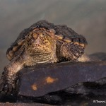 2724 Alligator Snapping Turtle (Macrochelys temminckii).