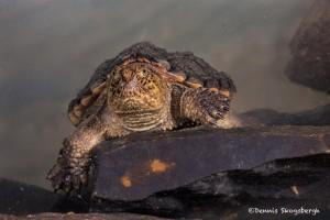2724 Alligator Snapping Turtle (Macrochelys temminckii).