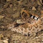 2726 Western Diamondback Rattlesnake (Crotalus atrox).