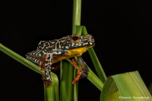 2727 Female Hieroglyphic Reed Frog (Hyperolius hieroglyphicus).