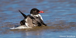 2732 Laughing Gull (Leukophaeus atricilla).