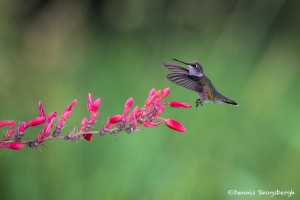 2733 Immature Female Ruby-throated Hummingbird (Archilochus colubris).
