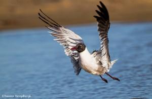 2734 Laughing Gull (Leukophaeus atricilla).