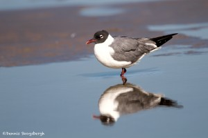 2735 Laughing Gull (Leukophaeus atricilla).