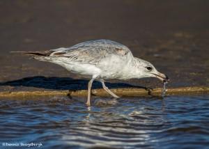 2736 Ring-billed Gull (Larus delewarensis).