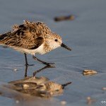 2744 Sanderling (Calidris alba).