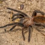 2746 Tarantula (Aphonopelma hentzi.