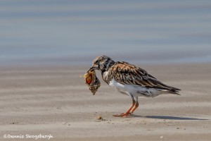 2747 Female, Breeding Ruddy Turnstone (Arenaria interpres).