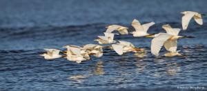 2748 Cattle Egrets (Bubulcus ibis).