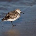 2749 Sanderling (Calidris alba).