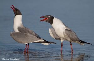 2750 Laughing Gulls (Leukophaeus atricilla).