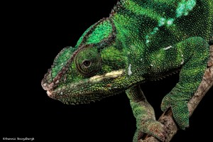 2753 Panther Chameleon (Furcifer pardalis). Native to the eastern and northern parts of Madagascar