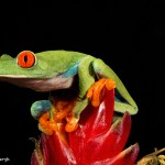 2754 Red-eyed Green Tree Frog (Agalychnis callidryas). Native to the Neotropical rainforests in Central America
