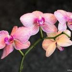 2755 Orchids