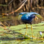 2757 Purple Gallinule (Poyphyrio matinica), Anahuac National Wildlife Refuge, TX