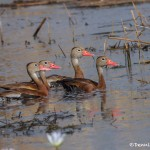 2758 Black-bellied Whistling Ducks (Dendrocygna autumnalis), Anahuac National Wildlife Refuge, TX