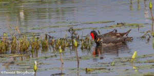 2759 Common Moorhen and Chick (Gallinula chloropus), Anahuac National Wildlife Refuge, TX