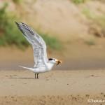 2764 Royal Tern (Thalasseus maximus) Bolivar Peninsula, TX