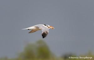 2767 Royal Tern (Thalasseus maximus), Bolivar Peninsula, TX