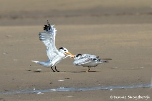 2768 Royal Tern (Thalasseus maximus), Bolivar Peninsula, TX