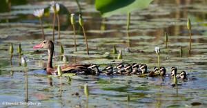 2769 Black-bellied Whistling Ducks (Dendrocygna autumnalis), Anahuac National Wildlife Refuge, TX