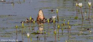 2769 Fulvous Whistling Duck and Chicks (Dendrocygna bicolor), Anahuac National Wildlife Refuge, TX