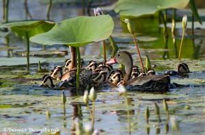 2770 Black-bellied Whistling Ducks (Dendrocygna autumnalis), Anahuac National Wildlife Refuge, TX