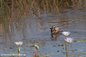 2771 Pied-billed Grebe (Podilymbus podiceps), Anahuac National Wildlife Refuge, TX