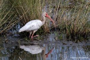2772 White Ibis (Eudocimus albus). Anahuac National Wildlife Refuge, TX