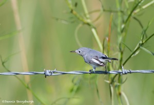 2775 Blue-gray Gnatcatcher (Polioptila caerulea). Anahuac National Wildlife Refuge, TX