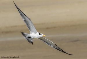 2778 Royal Tern (Thalasseus maximus). Bolivar Peninsula, TX