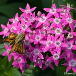 2780 Fiery Skipper (Hylephilia phyleus) on Swamp Milkweed, Dallas Arboretum