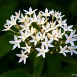 2782 White Swamp Milkweed (Asclepias perennis), Dallas Arboretum